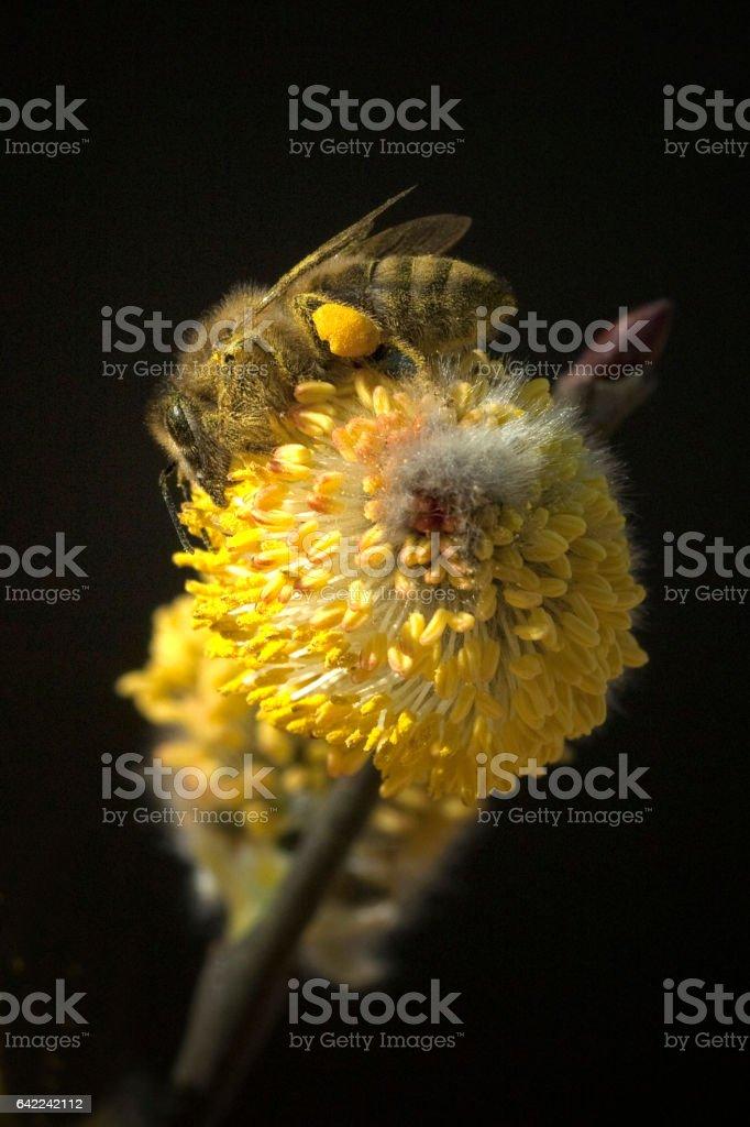 Weidenkaetzchen; Bee; Pollen loads; Apis; mellifera stock photo