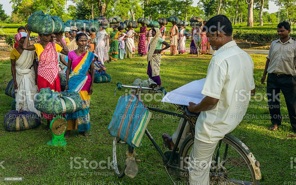 Weighing the day's tea leaf harvest, Jorhat, Assam, India. stock photo