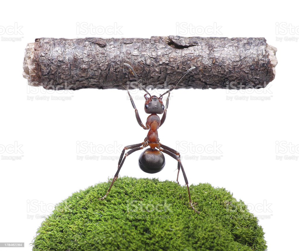 weightlifter ant isolated stock photo