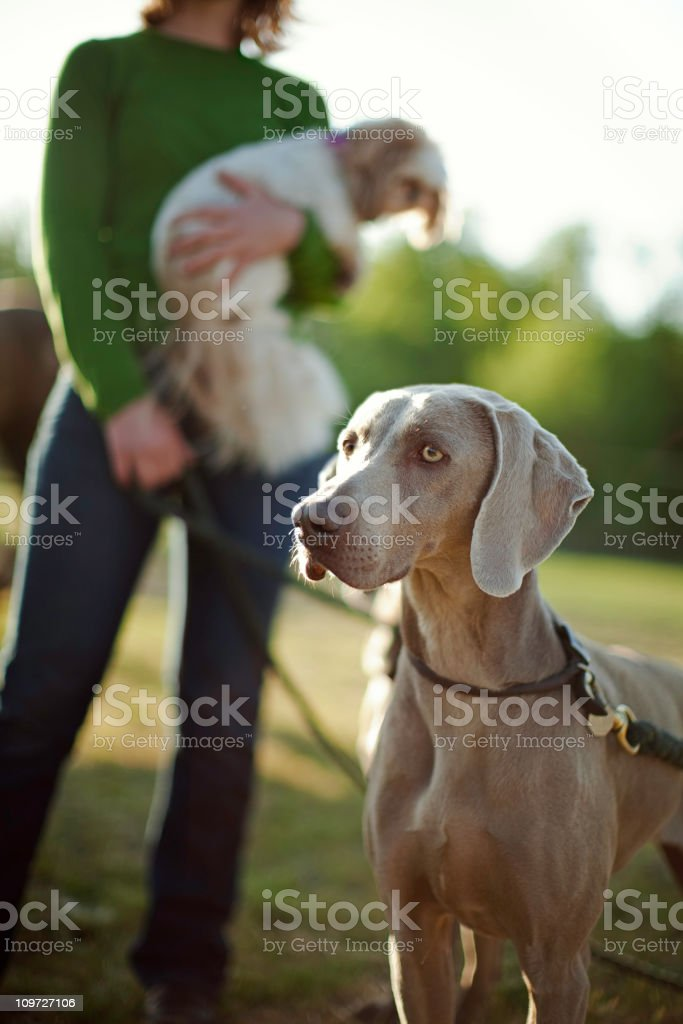 Weimaraner and Handler stock photo