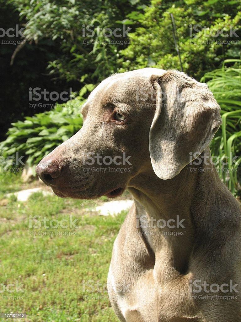 Weimaraner dog outside stock photo