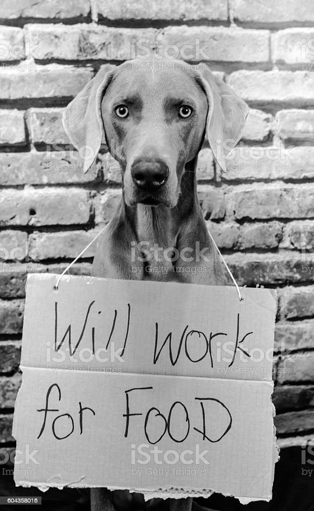 Weimaraner Dog Will Work For Food in Black and White stock photo