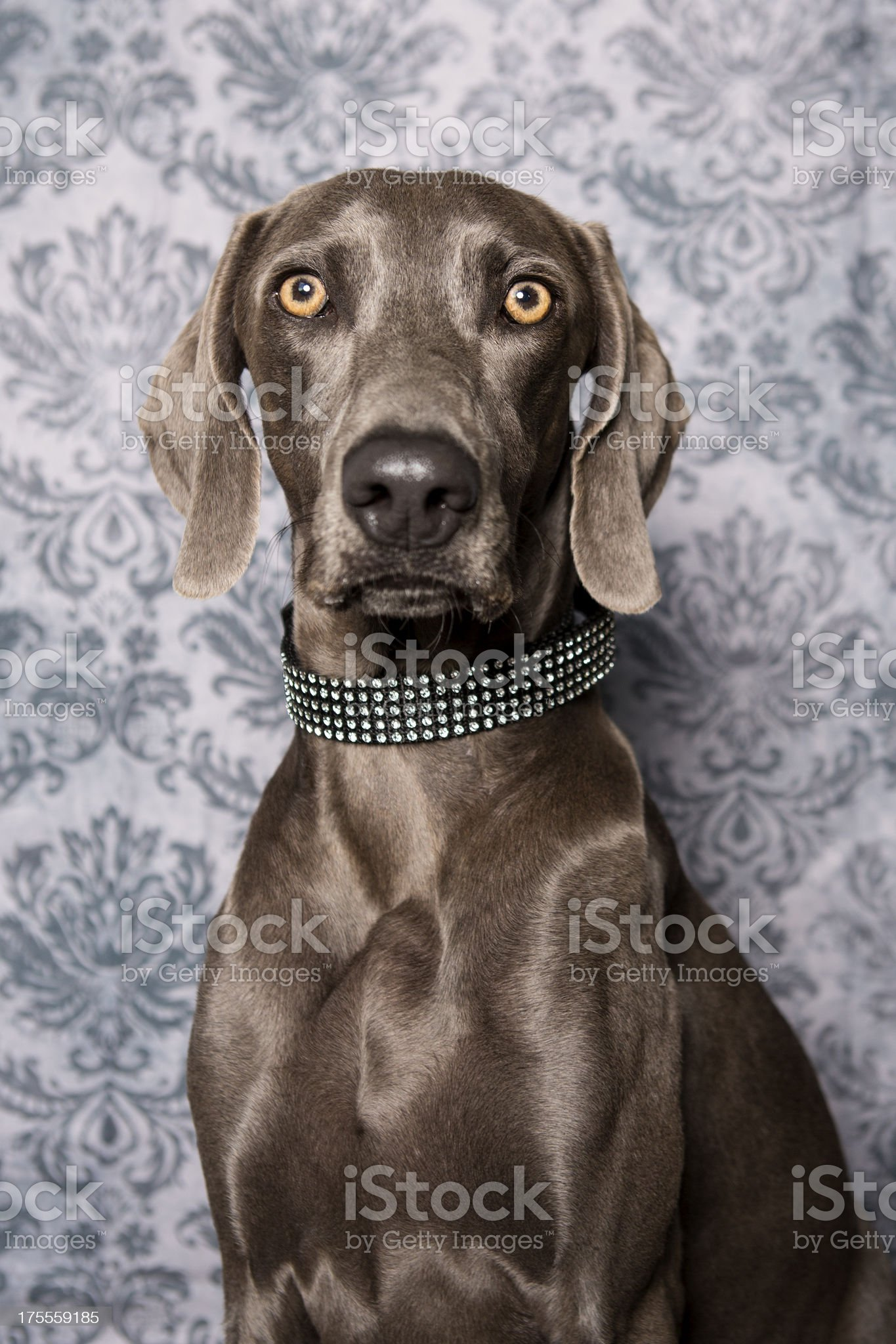 Weimaraner in Studio royalty-free stock photo