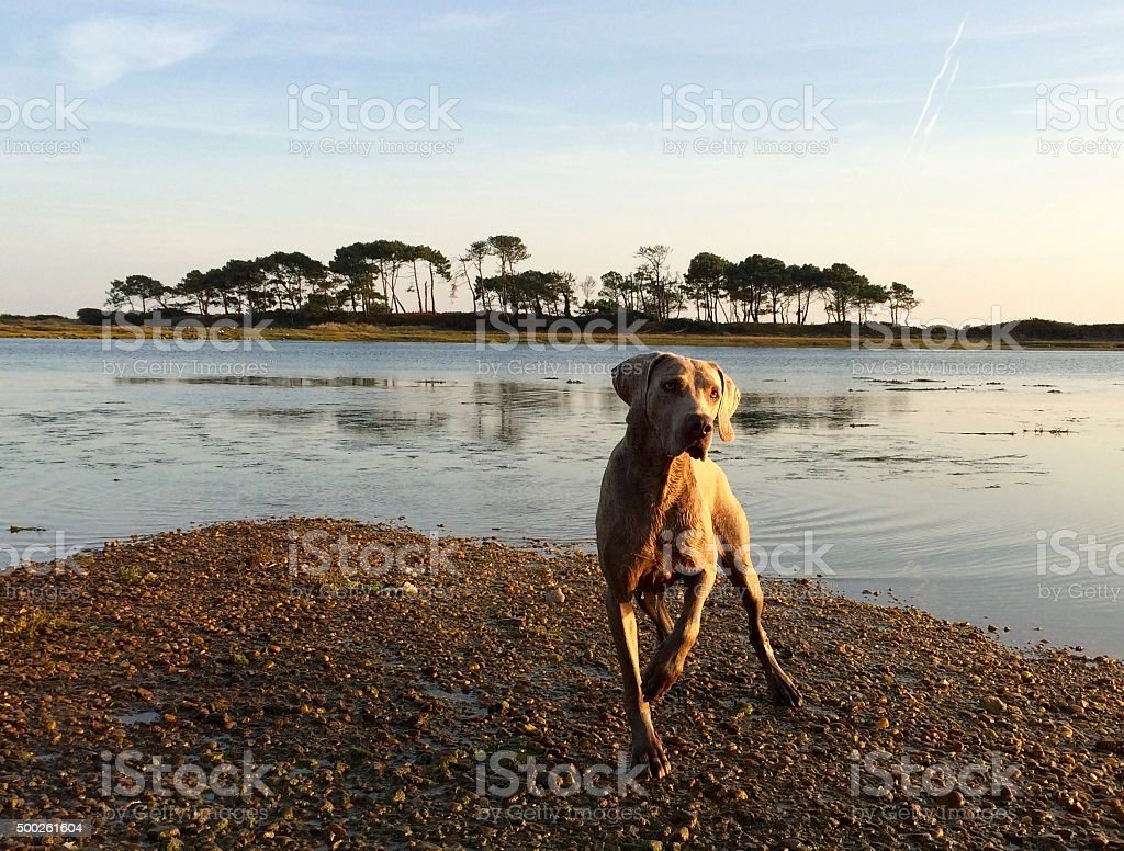 Weimaraner Ready to Swim stock photo