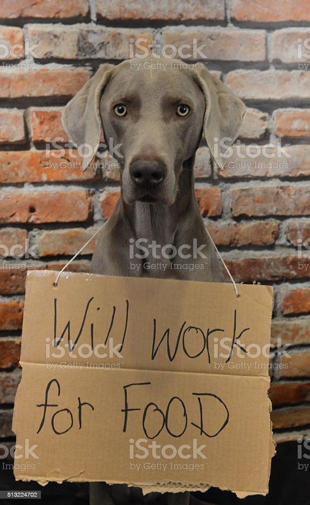 Weimaraner Will Work For Food stock photo