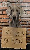 Weimaraner Will Work For Food