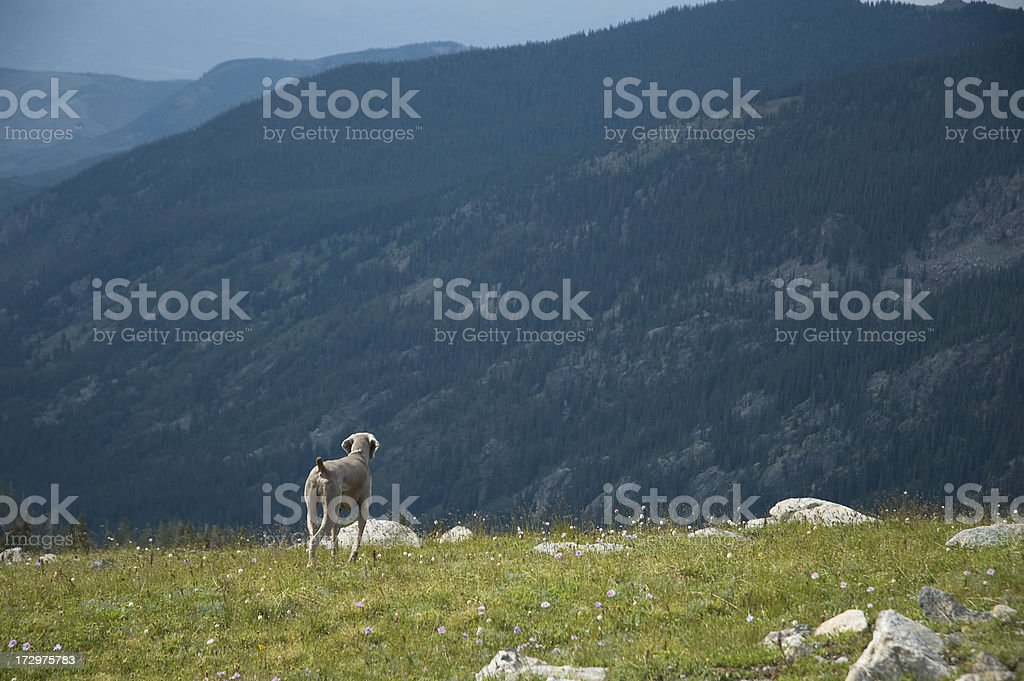 Weimeraner Bird Hunting Dog on Point stock photo