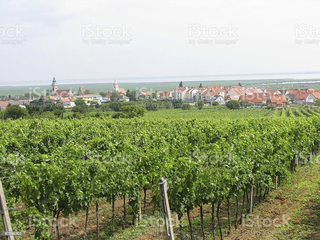 Weinstoecke, vine grapes stock photo