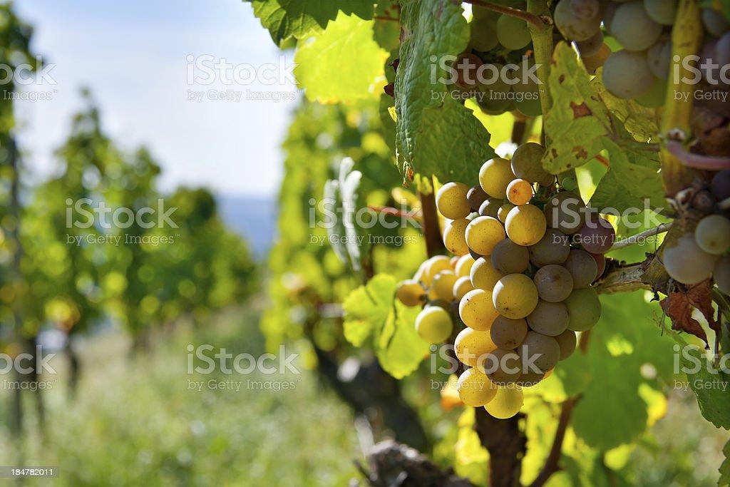 Weintrauben royalty-free stock photo