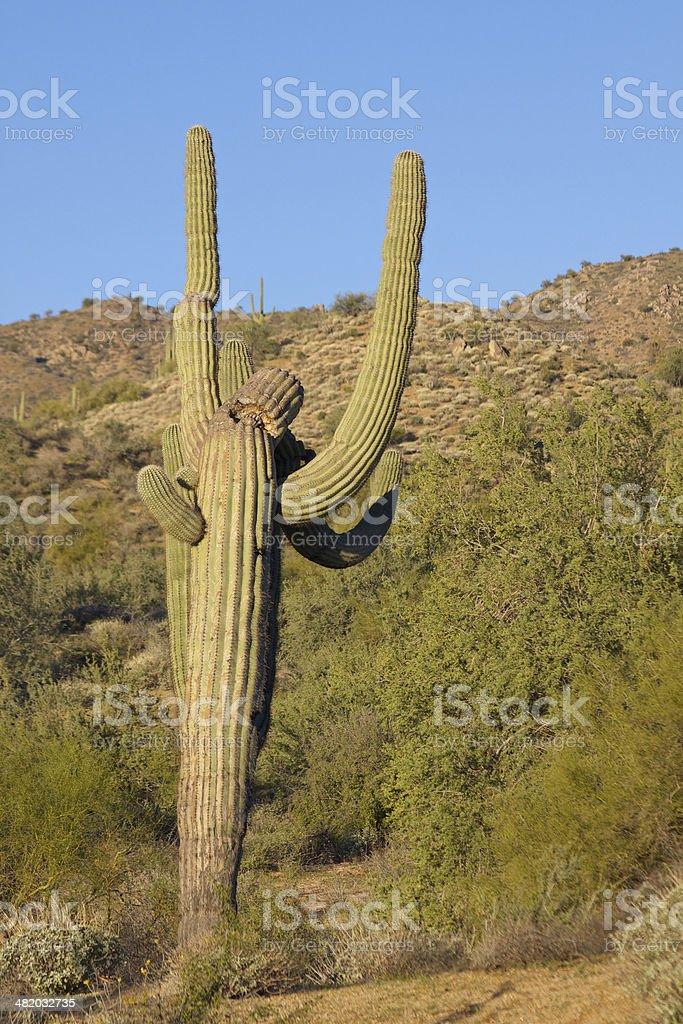 Weird Saguaro royalty-free stock photo