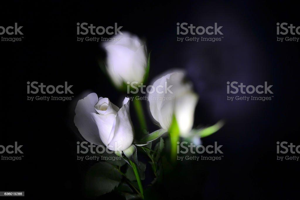 weise Rose stock photo