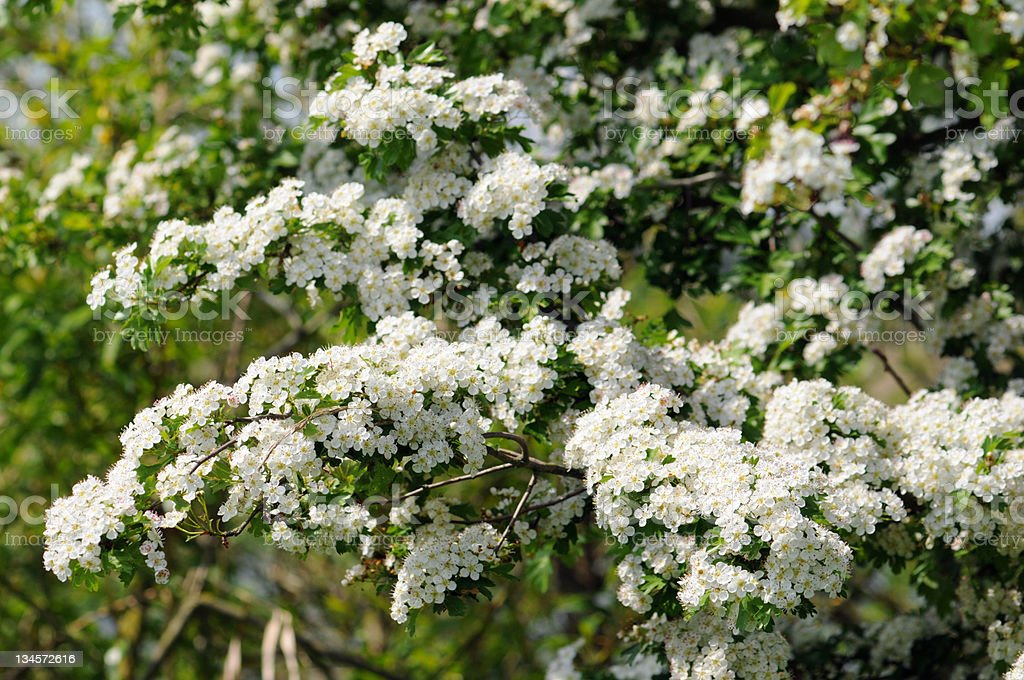 Weissdorn - Hawthorn or thornapple royalty-free stock photo