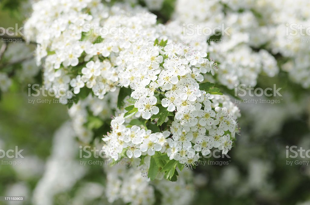 Weissdorn - Hawthorn or thornapple royalty-free stock photo