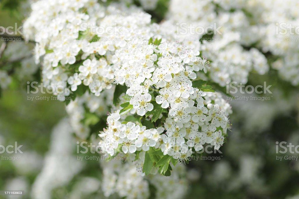 Weissdorn - Hawthorn or thornapple stock photo