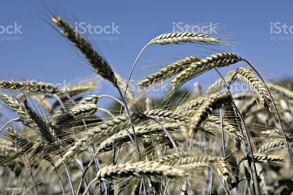 Weizen stock photo