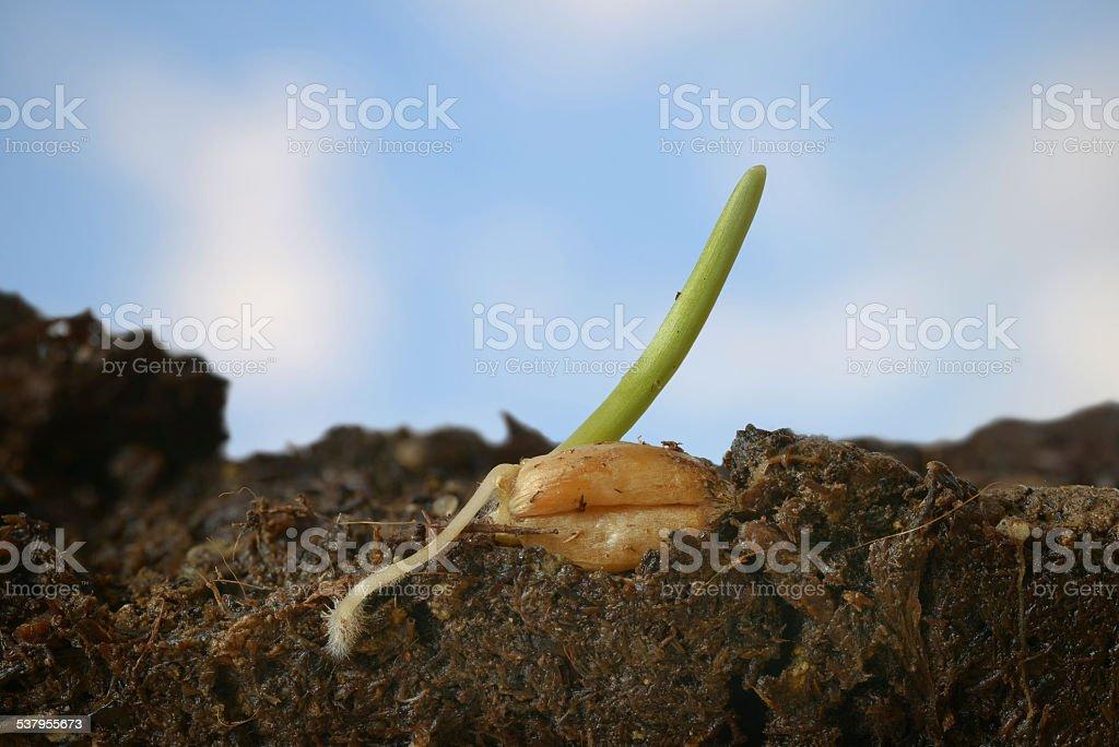 Weizenkeimling stock photo