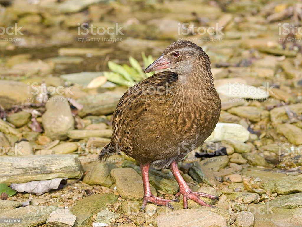 Weka - kiwi bird stock photo