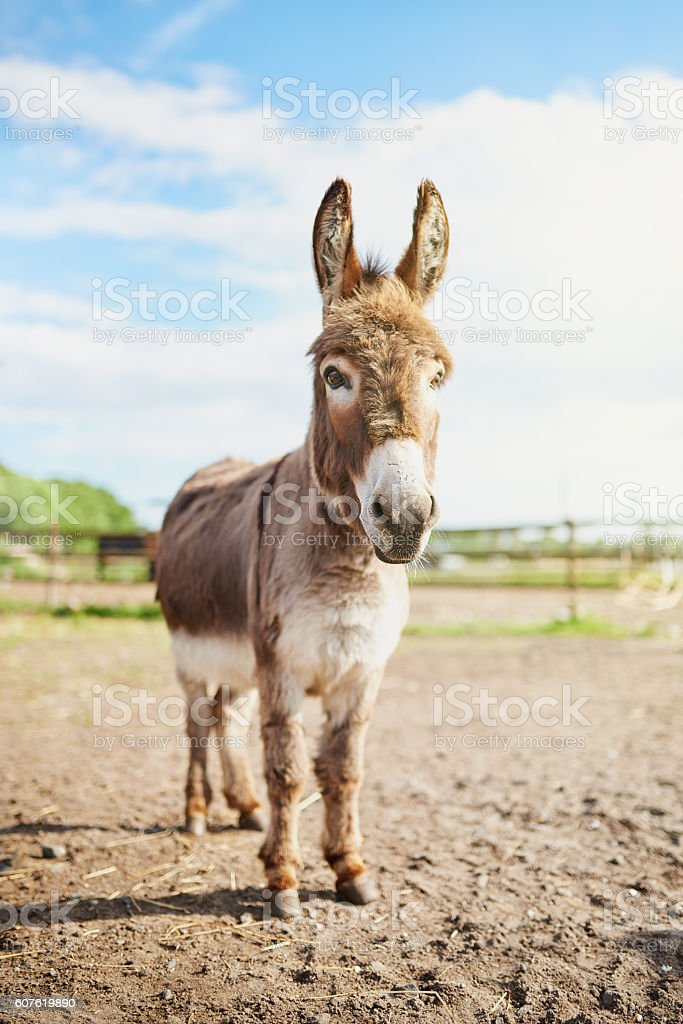 Welcome to barnyard tours, I'll be your guide stock photo