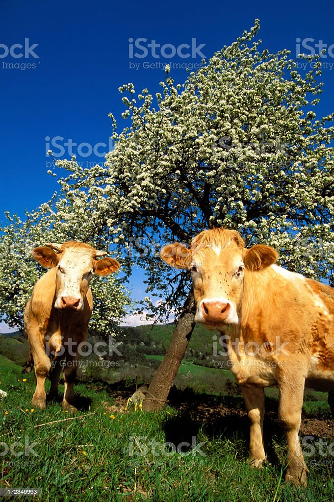 Welcoming cows in a spring field. stock photo
