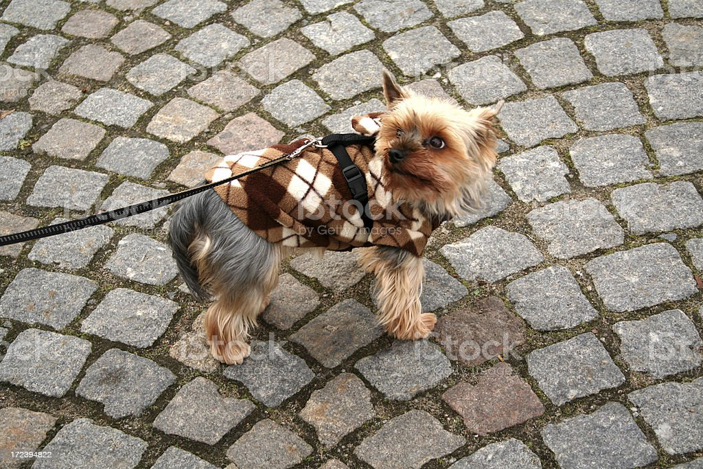 Well dressed dog. royalty-free stock photo