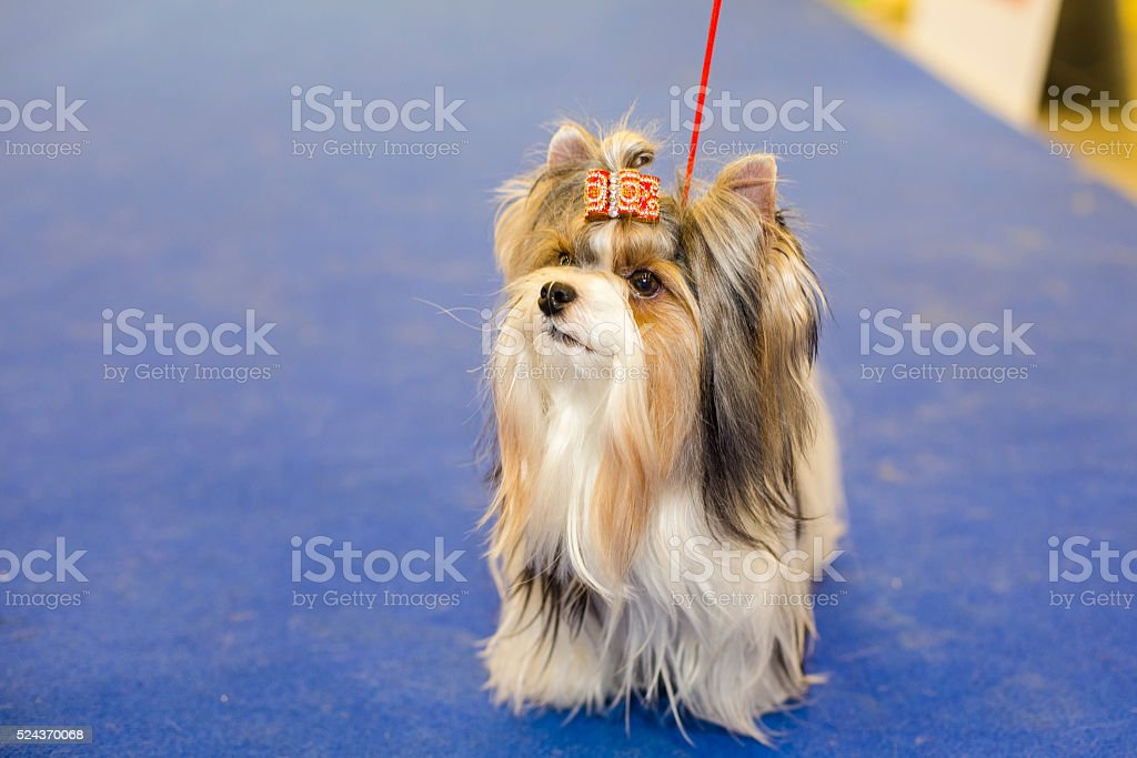 Well groomed Biewer Yorkshire terrier stock photo