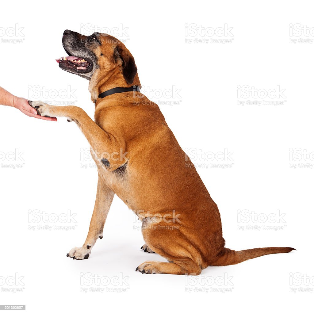 Well Trained Mastiff Dog stock photo