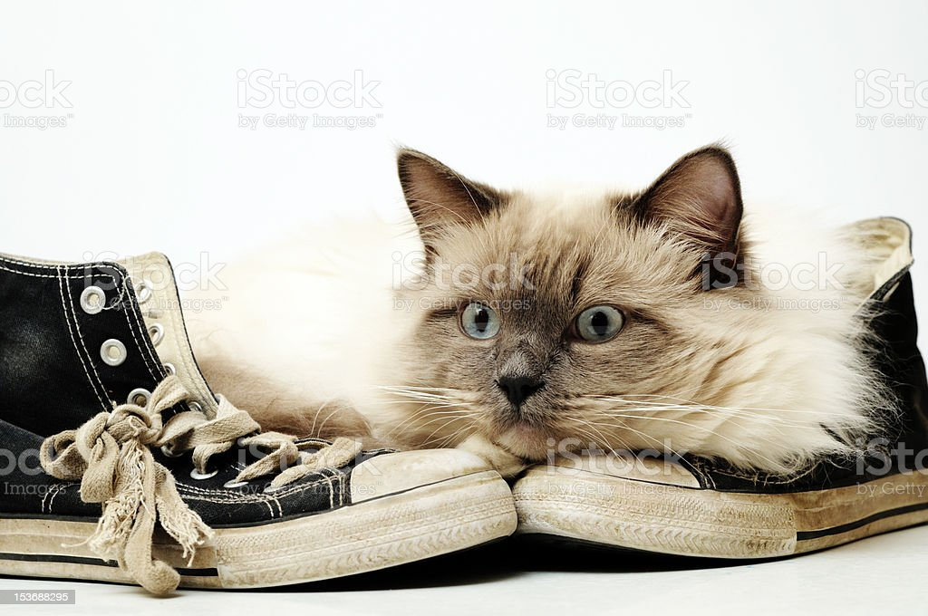Well worn, old black canvas sneakers with Ragdoll cat royalty-free stock photo