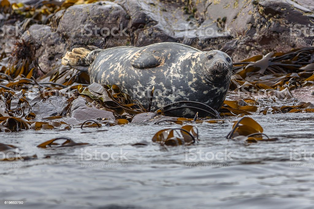 Well-fed Atlantic Grey Seal stock photo