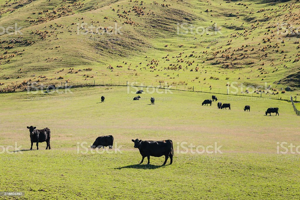 Welsh black cattle grazing on meadow stock photo