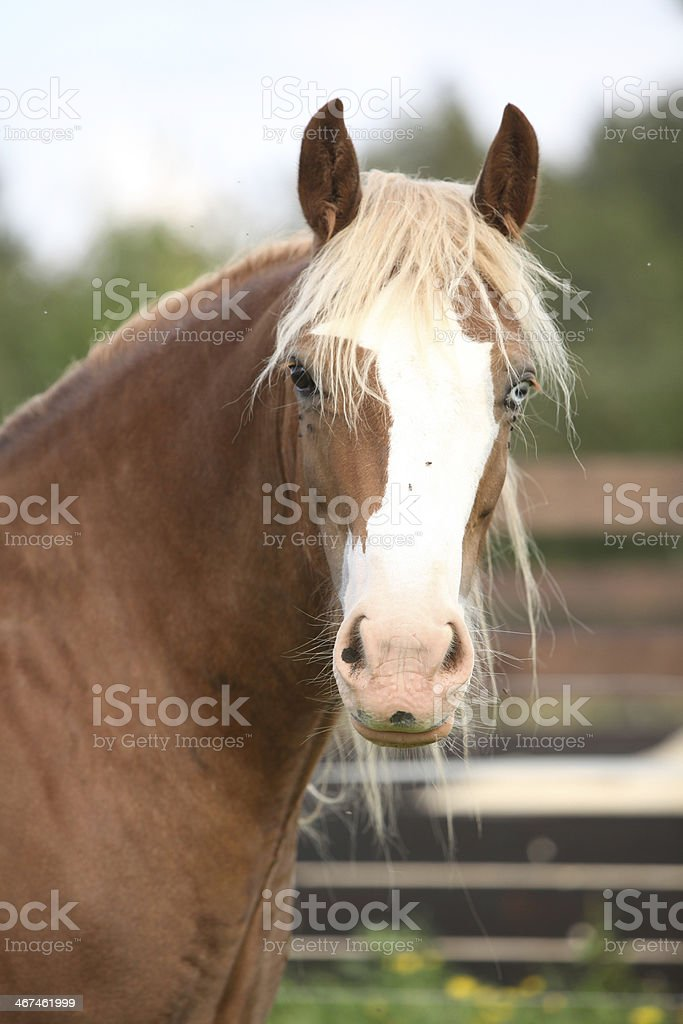 Welsh cob looking at you stock photo