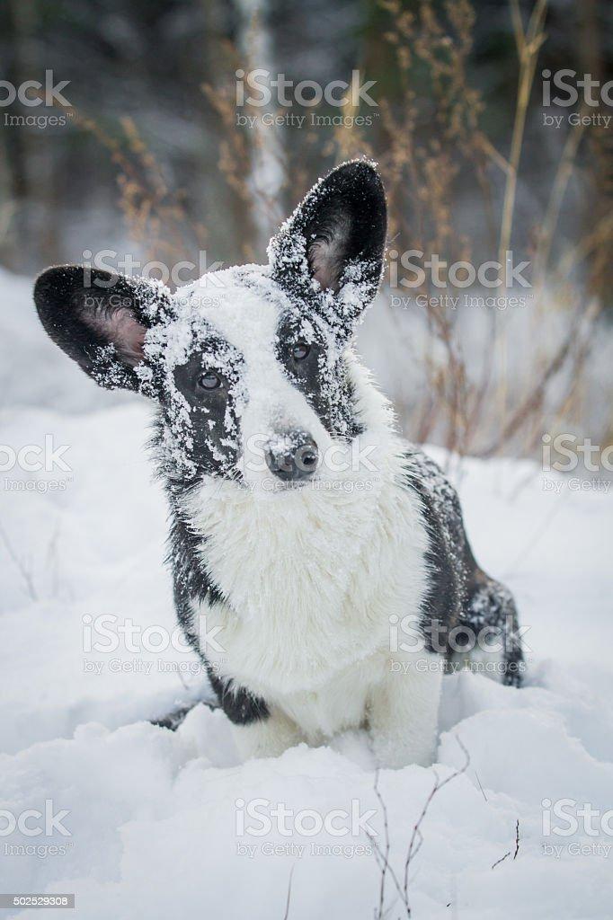 Welsh Corgi cardigan in the snow royalty-free stock photo