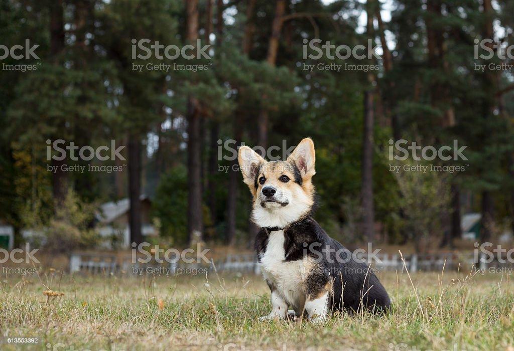 Welsh Corgi. Dog executes a command to sit. stock photo