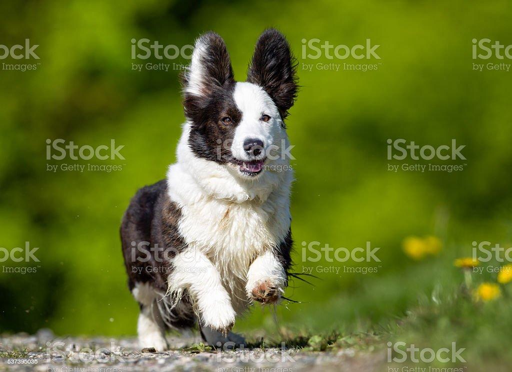 Welsh corgi dog outdoors in nature stock photo