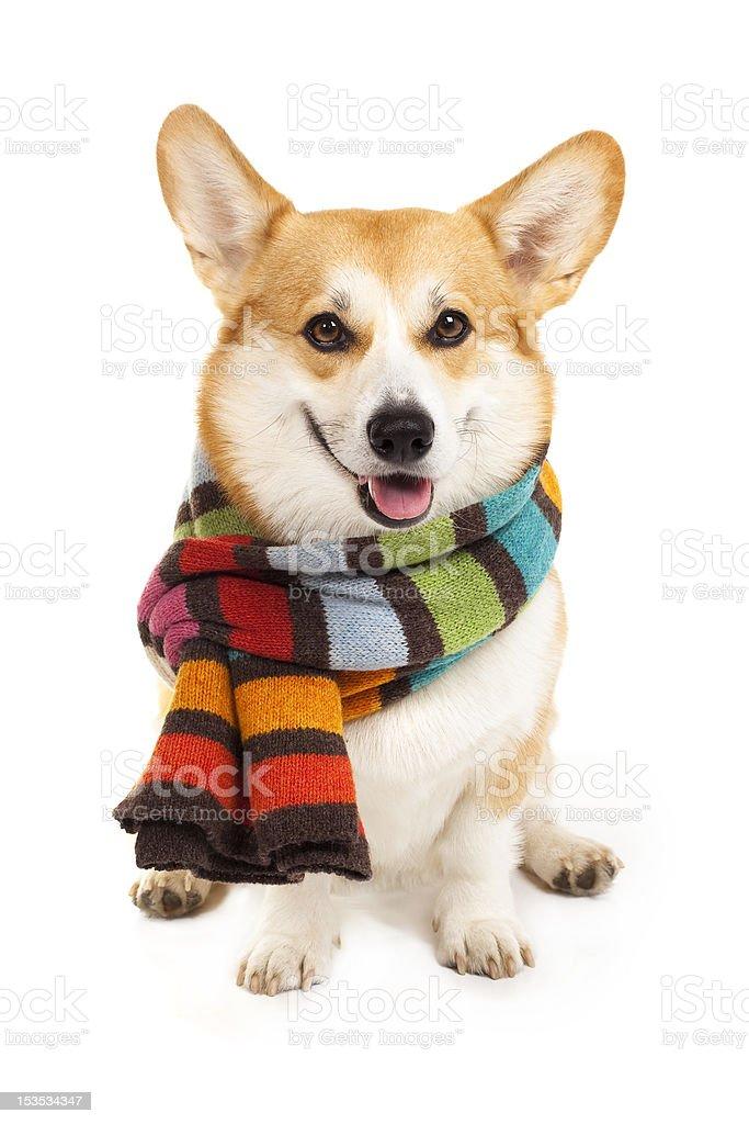 Welsh corgi pembroke wearing stripe scarf royalty-free stock photo