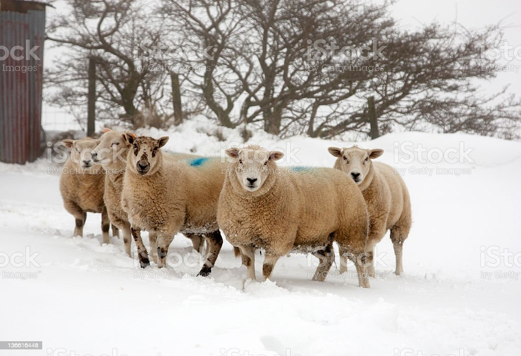 Welsh highland sheep in snowy field stock photo