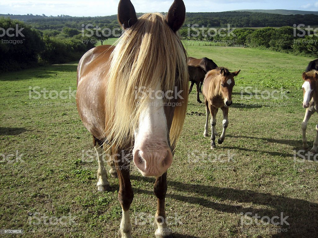 Welsh Horse stock photo