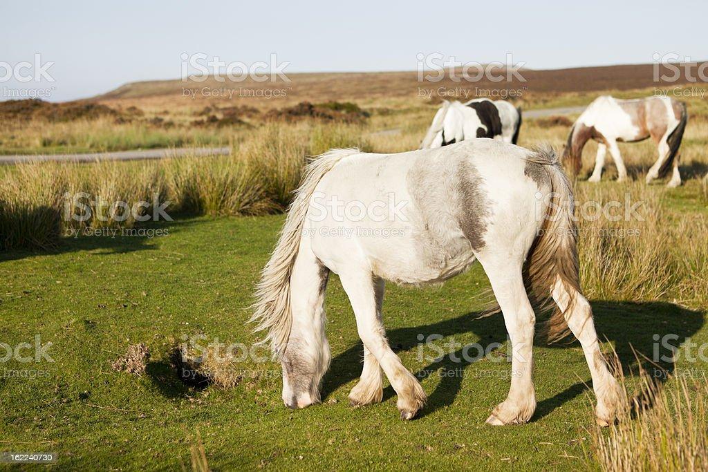 Welsh Mountain Ponies grazing stock photo