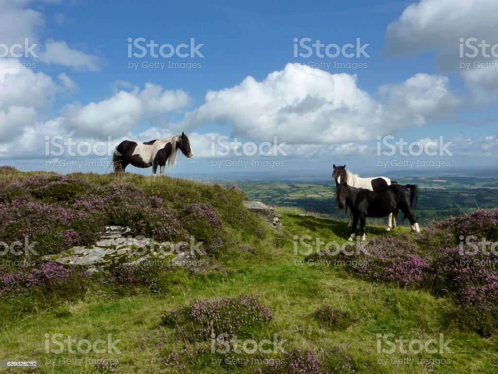 Welsh Mountain Ponies on the Black Mountain in Wales stock photo