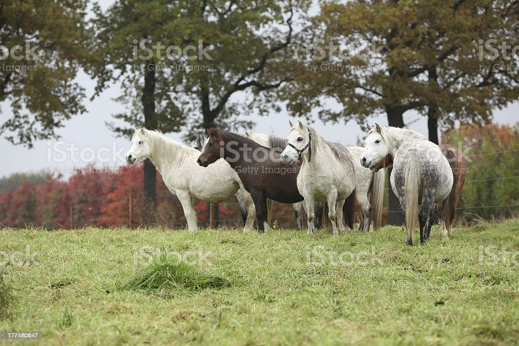 Welsh mountain ponnies in autumn royalty-free stock photo