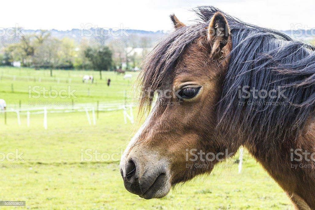 Welsh Mountain Pony royalty-free stock photo