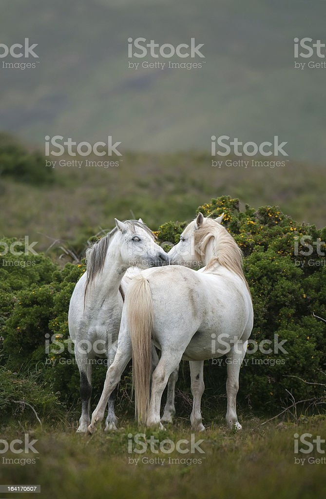 Welsh Moutain Ponies royalty-free stock photo