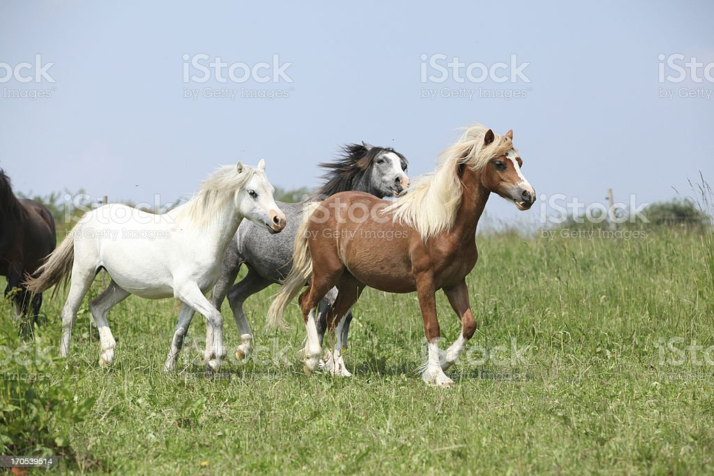 Welsh ponnies running together stock photo