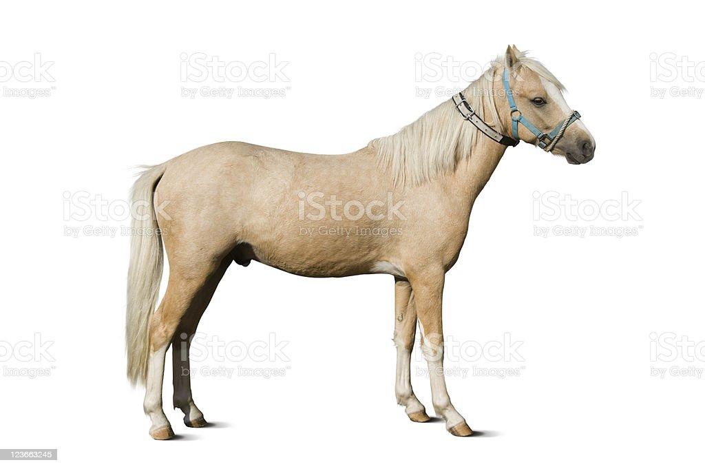 Welsh Pony – Palomino Stallion stock photo