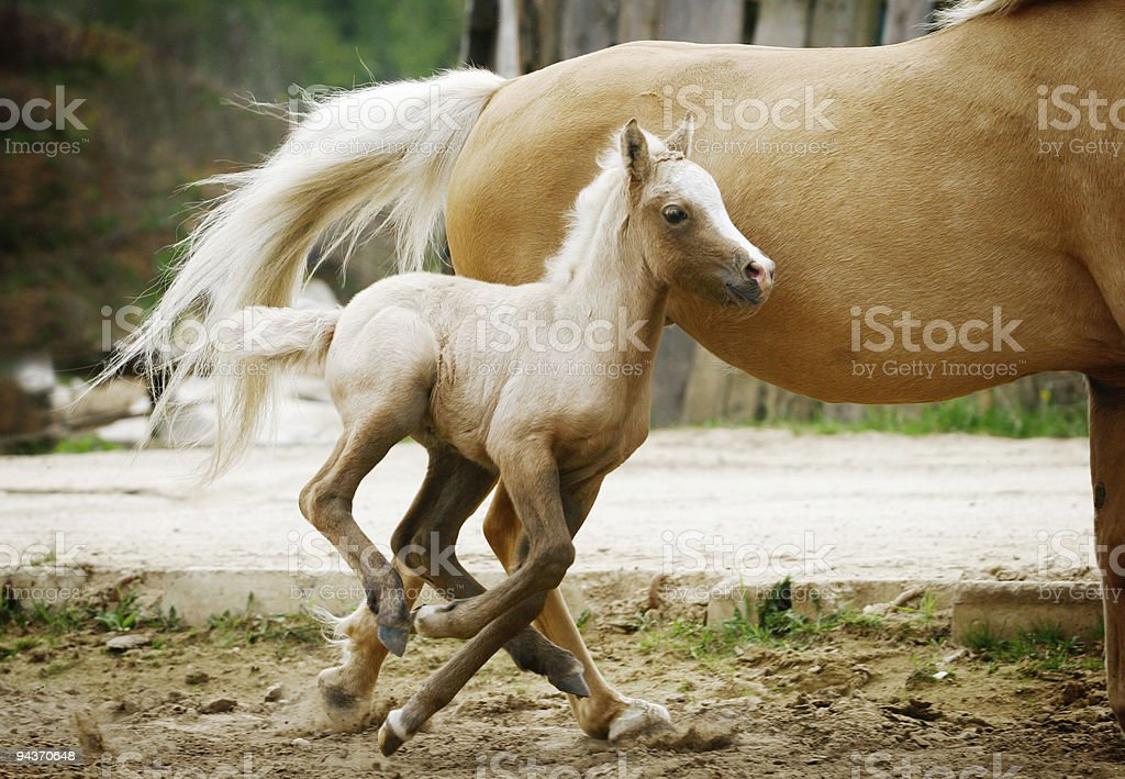 welsh pony foal royalty-free stock photo