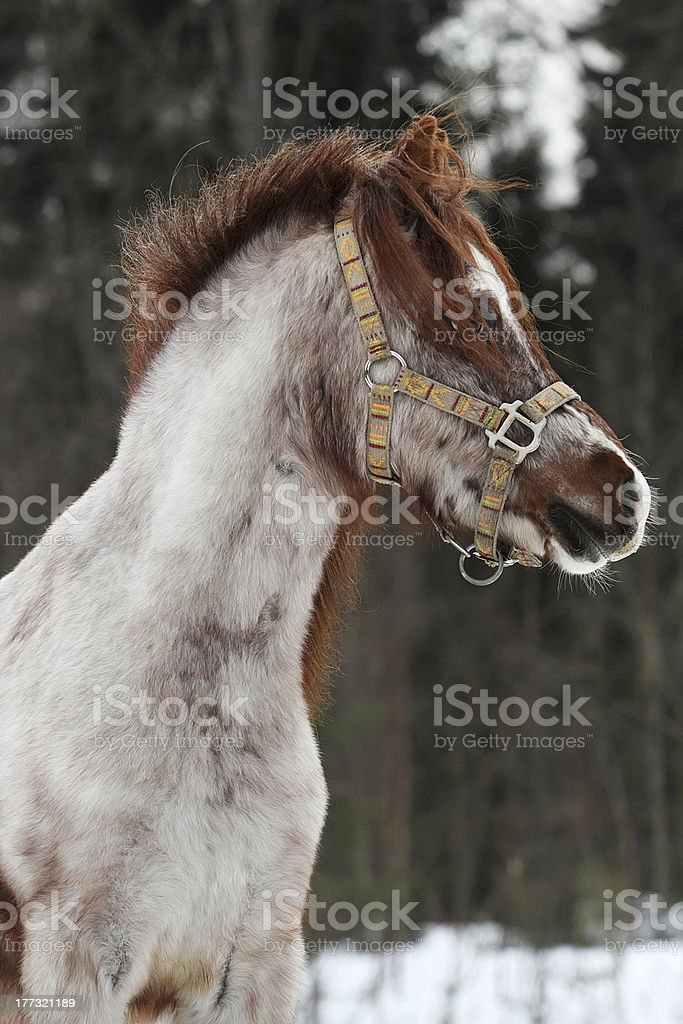 Welsh pony royalty-free stock photo