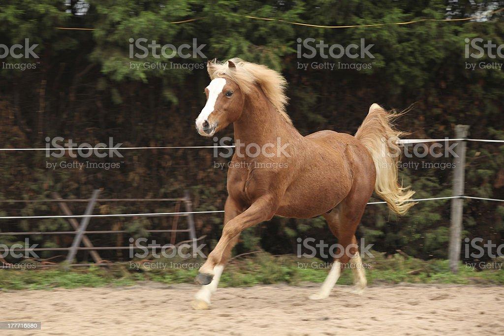 Welsh pony stallion chestnut with blond hair stock photo