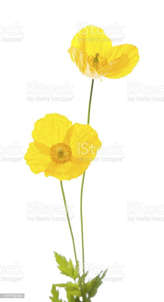 Welsh poppy royalty-free stock photo