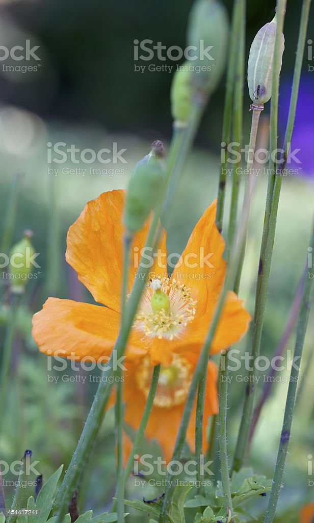 Welsh Poppy (Meconopsis cambrica) royalty-free stock photo