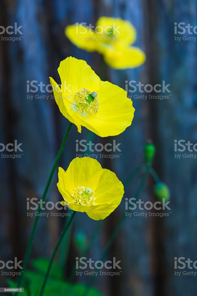 Welsh Poppy-Meconopsis Cambrica royalty-free stock photo