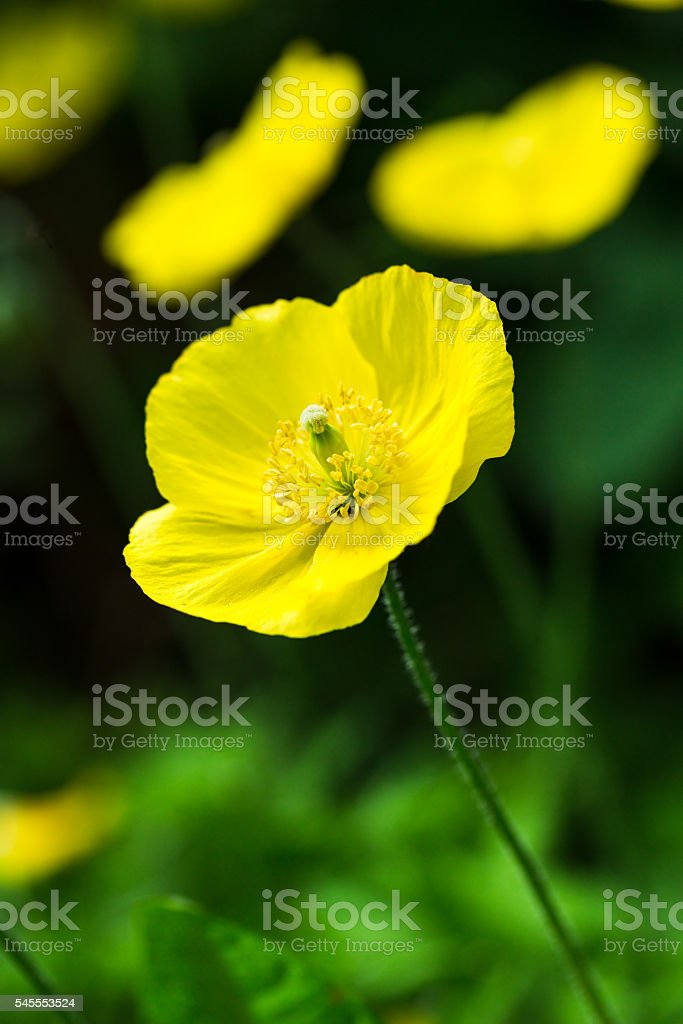 Welsh Poppy-Meconopsis Cambrica stock photo